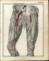 Arteries and muscles of the legs