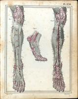 Superficial and deep arteries and muscles of the lower leg and foot