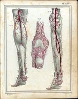 Superficial and deep arteries and muscles of the lower leg, knee and foot