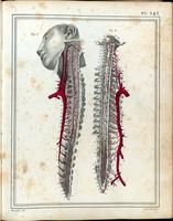 Spinal cord, spinal nerves, and spinal arteries, with aorta