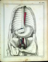Thoracic and abdominal cavities with stomach and pancreas