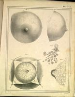 Female breast, lactiferous ducts and glands