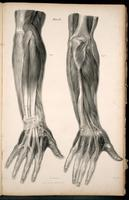 Muscles and tendons of the forearm and hand