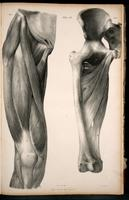 Superficial and deep muscles of the thigh