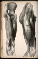Muscles of the buttocks and thigh