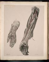 Arteries of the hand and arm