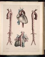 Heart, aorta and its branches, pulmonary arteries and veins, superior and inferior vena cava