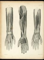 Nerves of the forearm and hand