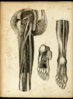 Nerves of the buttocks, leg and foot