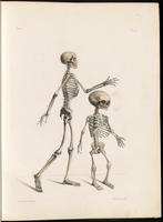 Skeleton, adult and fetus