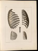 Ribs and sternum of an adult and infant