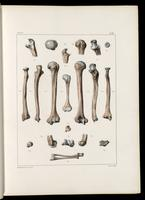 Humerus, radius and ulna of an adult and infant