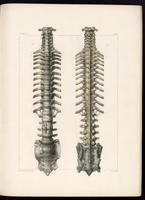Spine, with ribs, sacrum and ligaments