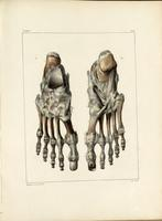 Bones and ligaments of the foot