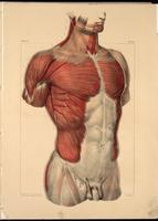 Muscles of the thorax and abdomen