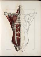 Muscles of the neck, thorax and abdomen