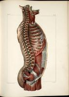 Muscles of the neck, thoracic, abdominal and pelvic cavities