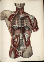 Posterior thoracic, abdominal and pelvic wall