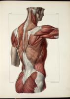 Muscles of the back, shoulder and buttocks