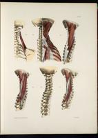 Muscles of the neck, cervical vertebrae