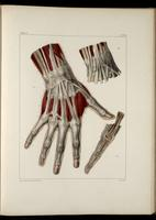 Muscles and tendons of the wrist and hand