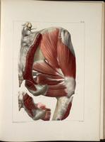 Muscles of the buttocks