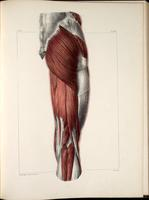 Muscles of the groin and thigh