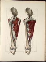 Deep muscles of the thigh