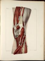 Muscles of the popliteal fossa