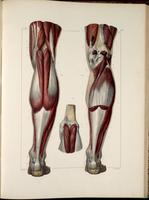 Muscles of the popliteal fossa and lower leg