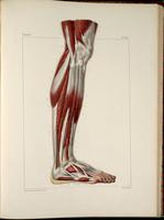 Muscles of the lower leg and foot