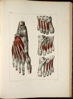 Muscles and tendons of the foot