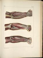 Fascia of the arms