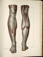 Fascia of the lower leg