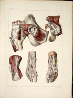 Joint capsule of the hip, tendons of the knee, ankle and foot