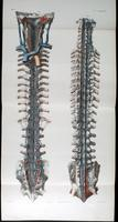 Spine and vertebral venus plexus