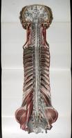 Brain, spinal cord, spinal nerves, sympathetic chain