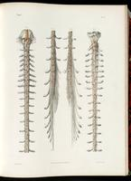 Brainstem, spinal cord, spinal nerves and cauda equina