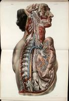 Automomic nerves of the face, neck, thorax and abdomen