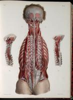 Deep muscles and nerves of the back and neck