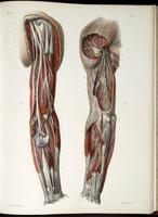 Deep nerves, muscles and blood vessels of the arm