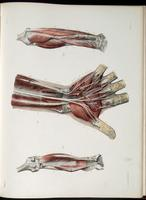 Nerves of the hand and forearm