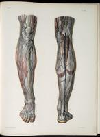 Superficial nerves and veins of the lower legs