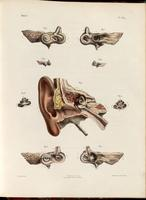 Ear; external, middle and labyrinth