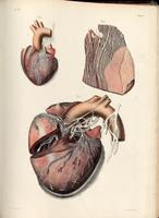Vagus nerve, heart and aorta
