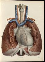 Heart, lungs, trachea and laryngeal cartilages
