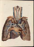 Branches of the vagus nerve to the heart and lungs
