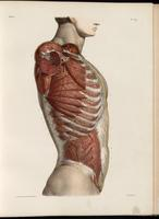 Superficial arteries of the thorax and abdomen, thoracic and abdominal muscles