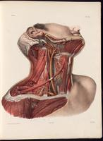 Dissection of the neck, neck muscles and carotid artery