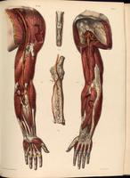 Dissection of the arm, arteries of the arm